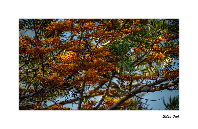 Silky Oak Grevilla Robusta, Sony SLT-A77V, Tamron SP 70-300mm F4-5.6 Di USD