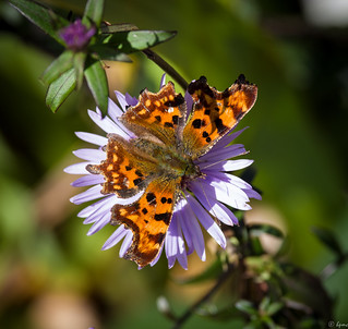 Nature Ramble 1 - Comma