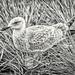Scandinavian Seagull