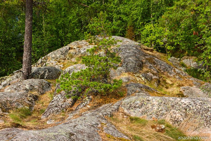Сосенка на скале, Карелия