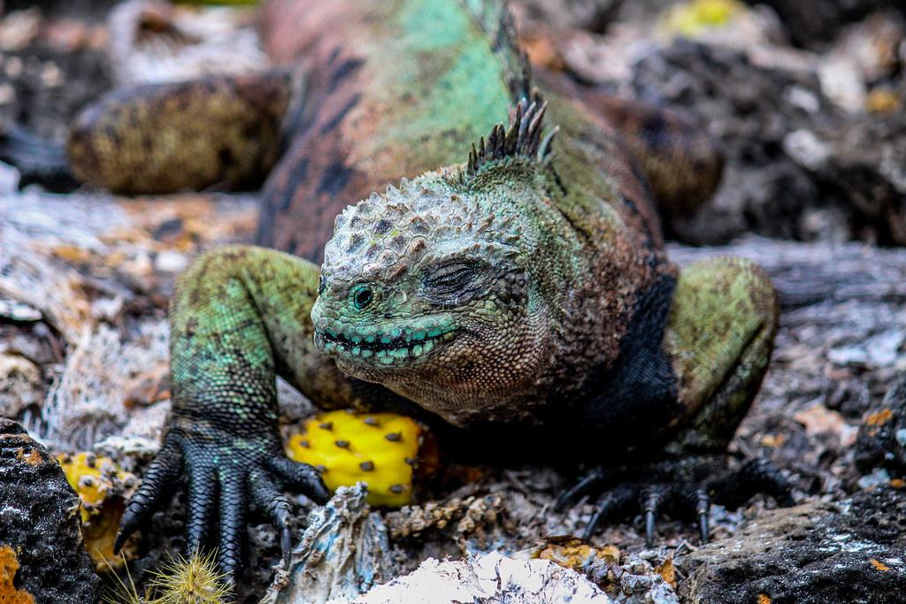 Iguana Galapagos Islands