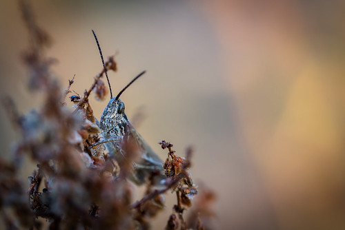 nikon d610 lowlight colours warmcolours olsztyn czestochowa poland polska sunrise morning summer fullframe macro macrodreams manualfocus closeup insect nature grasshopper tamron 90mm fixedfocal fixed beautiful