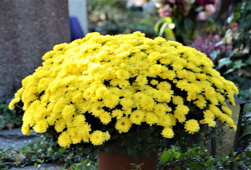 Chrysanthemum 14.10.2018