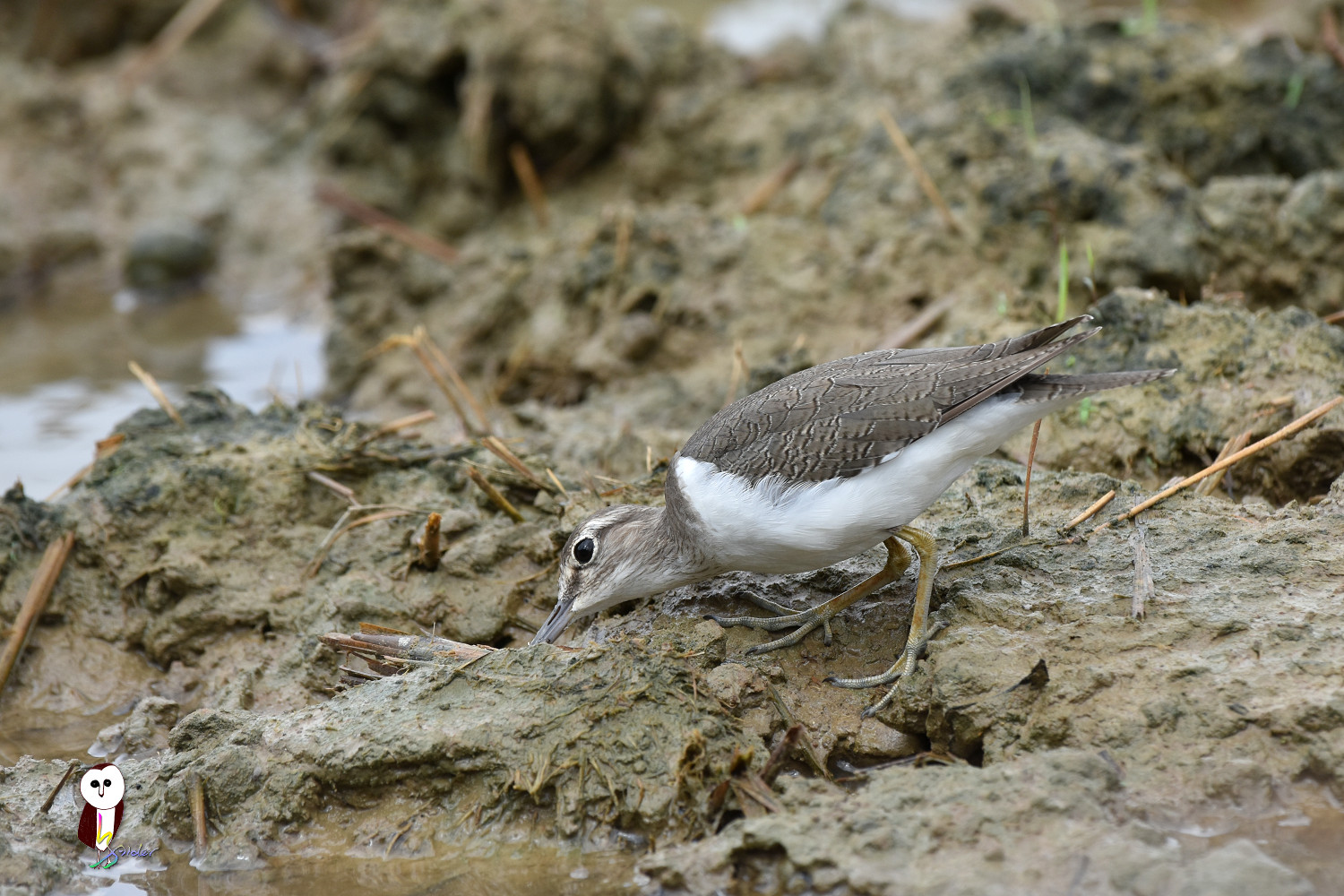 Common_Sandpiper_7583