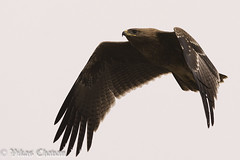 Indian Spotted Eagle. by Vikas.B.Chavan