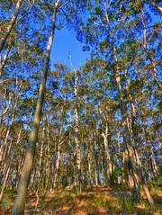 Australian forest talls I