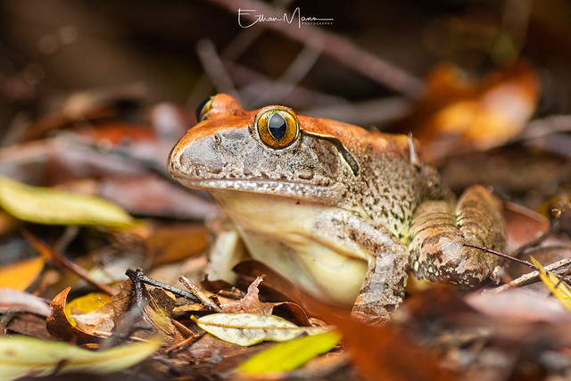 Giant Barred Frog Mixophyes, Canon EOS 7D MARK II, Tamron SP AF 90mm f/2.8 Di Macro