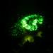 Devonshire Cup Corals (Caryophillia smithii) fluorescence