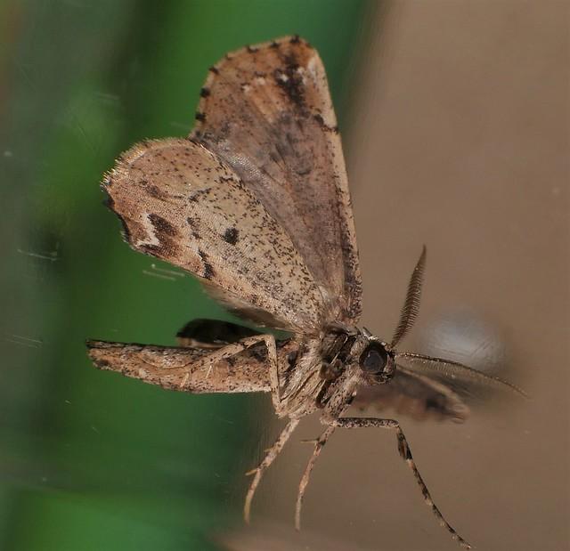 Wing folder moth Phazaca mimic twister Moth Neogyne elongata Boarmini Ennominae Geometridae Geometroidea Airlie Beach rainforest P1430870