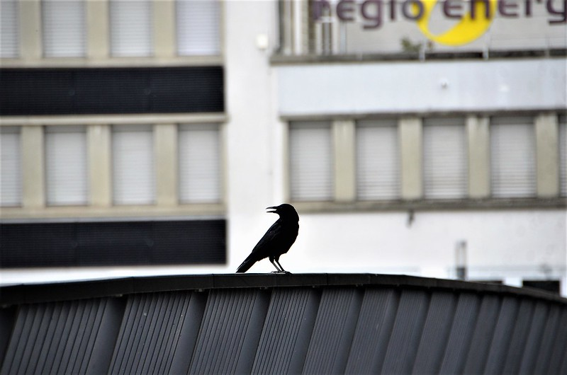 Crow 03.11 (2)