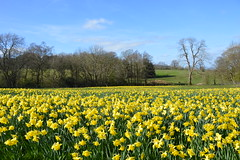 Gatten Valley Daffodil Field, Shropshire