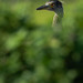 Yellow-crowned Night Heron - Nyctanassa violacea   2018 - 12 by RGL_Photography