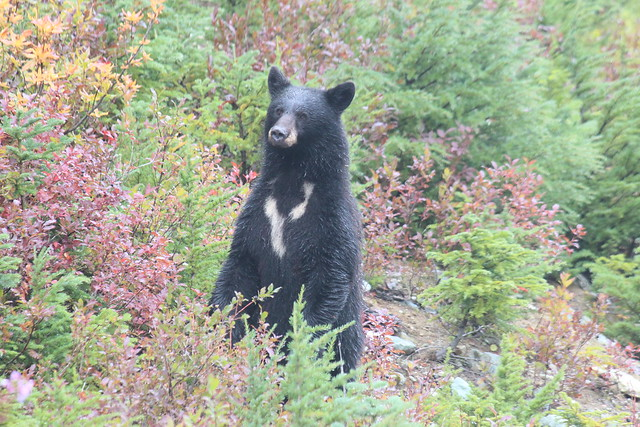 Black bear - Whistler, Canon EOS 600D, Canon EF-S 55-250mm f/4-5.6 IS