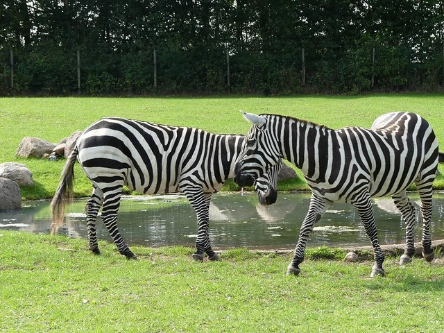 Böhm-Steppenzebra, Zoo Givskud