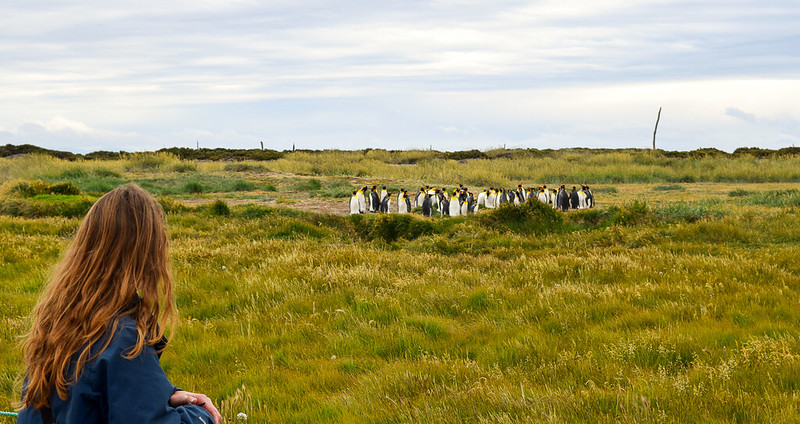 King Penguins - Chile