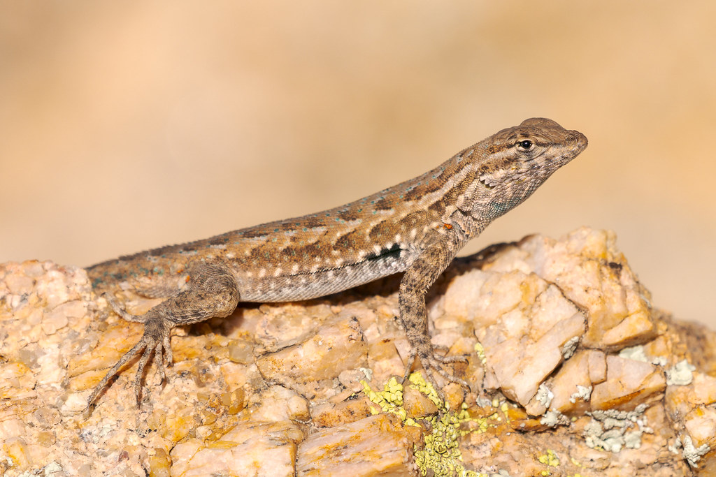 A common side-blotched lizard warms itself in the sun on a rock along the Coyote Canyon Trail in McDowell Sonoran Preserve