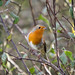 Rouge-gorge (Erithacus rubecula) by Dicksy93
