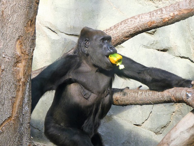 Gorilla Rebecca Zoo Frankfurt