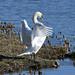 Mute Swan at Warnham Nature Reserve