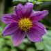 garden cosmos flower por ikarusmedia
