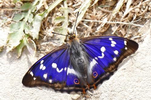 großer Schillerfalter, purple emperor
