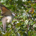 Cuckoo For Crickets (Yellow-Billed Cuckoo)