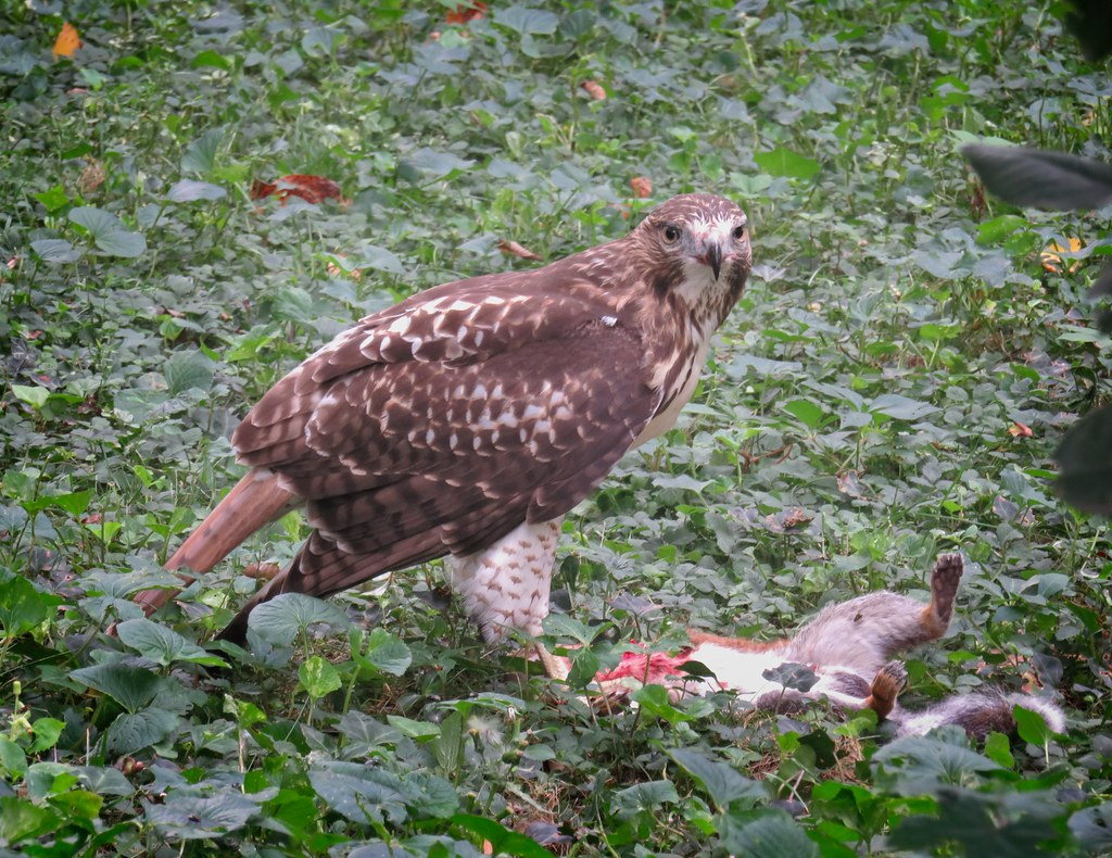 Tompkins red-tail fledgling eats a squirrel