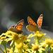 Small Copper butterflies