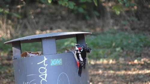 great spotte woodpecker at garbage