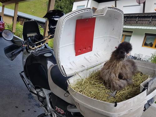 biker chicken