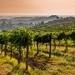 Vineyard outside San Gimgnano by Peter Quinn1