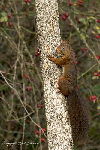 Squirrel - Rode eekhoorn - Hörnchen