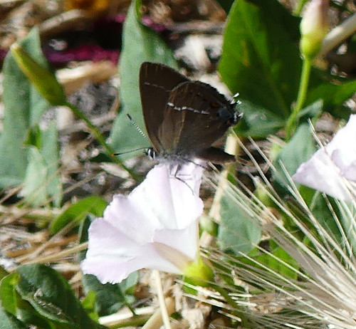 Kreuzdorn-Zipfelfalter (Satyrium spini)
