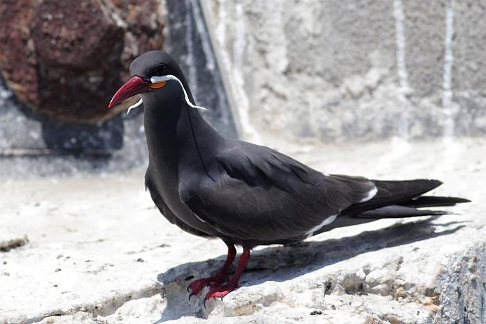 adult Inca Tern