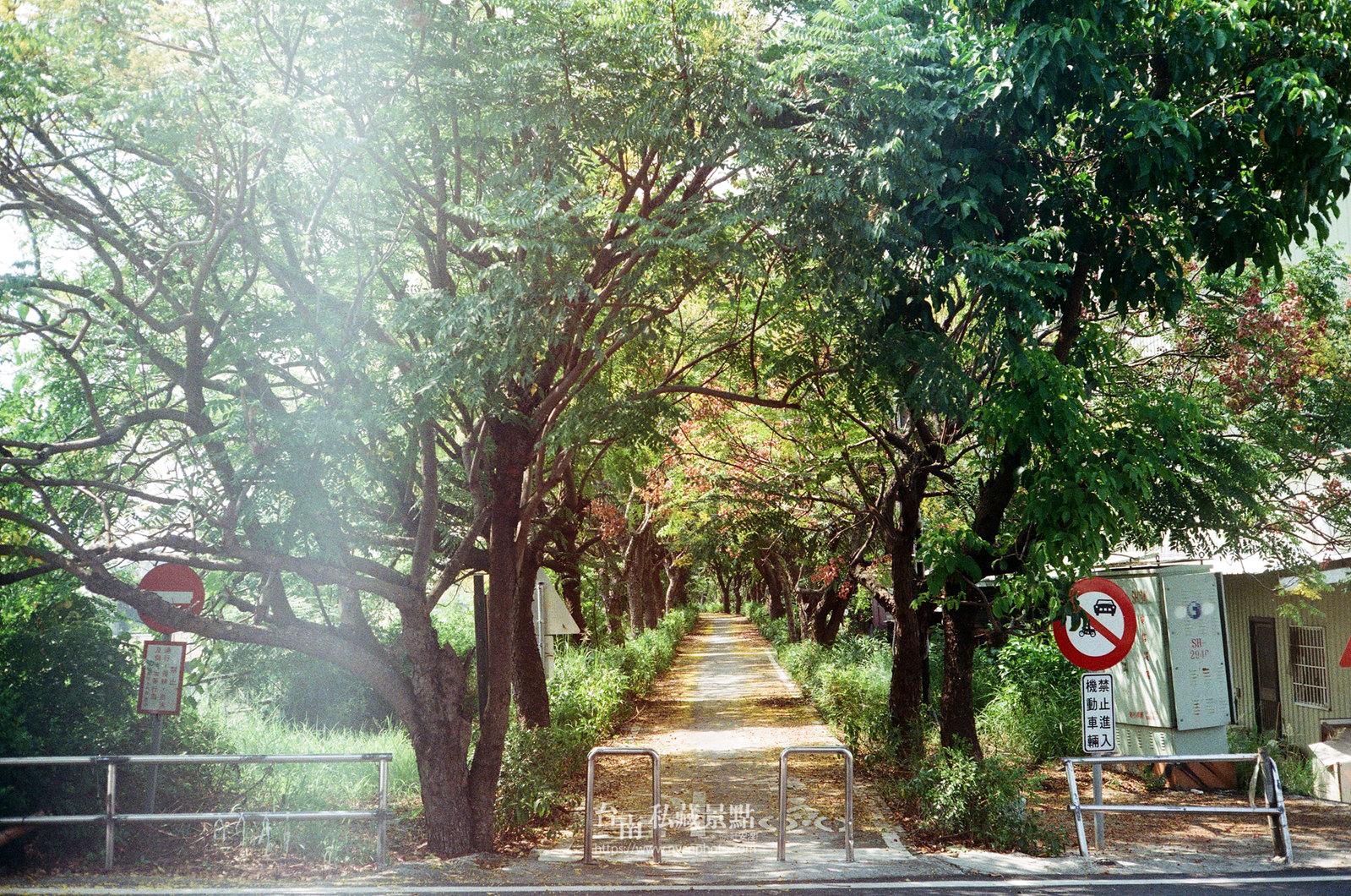 台南台灣欒樹22