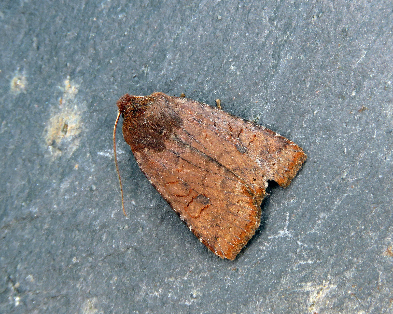 73.195 Dark Chestnut - Conistra ligula