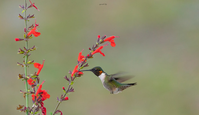 Ruby Throat (Male)