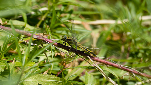 Unidentified dragonfly, Cassis