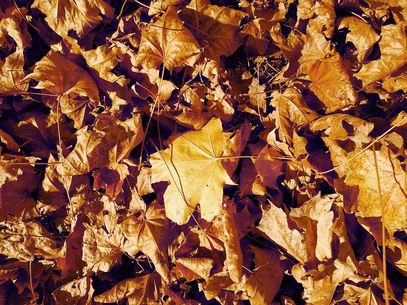 Fallen Leaves #13