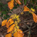 Hamamelis virginiana (American Witch Hazel) by jimf_29605