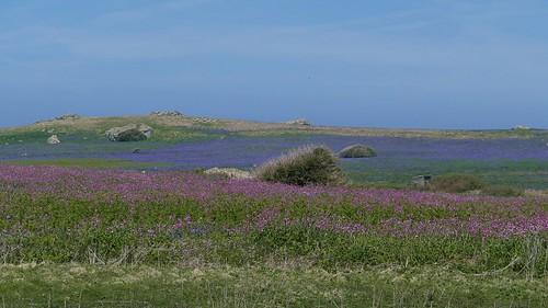 Skomer Island WT- Pembs Wales -May18 (8)