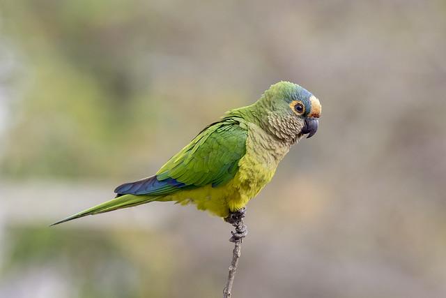 periquito-rei (Eupsittula aurea) Peach-fronted Parakeet