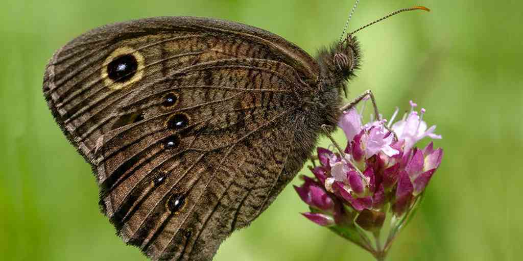 oreille-papillon-veine-ailes-entendre