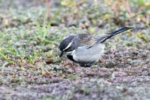 ca.vv.bt sparrow.4544
