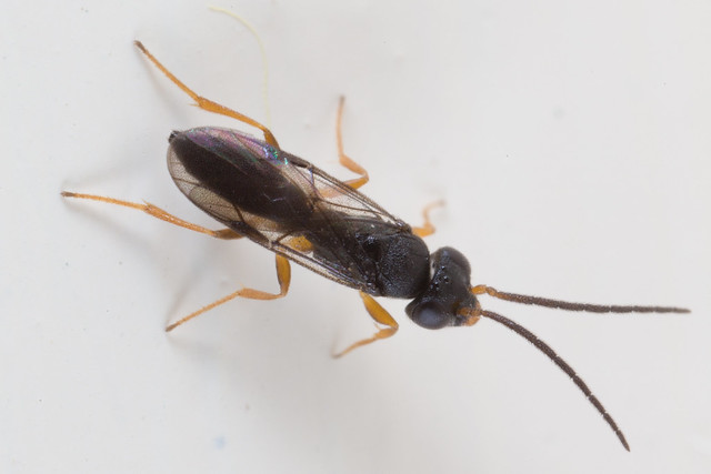 Is this a Dryinid wasp?