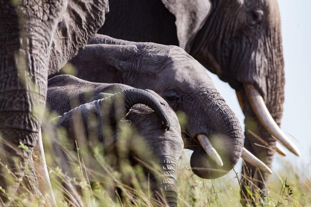 Serengeti_17sep18_03_generatii de elefanti2