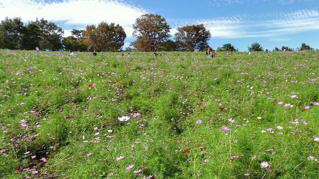 国営昭和記念公園〜コスモスまつり〜秋桜のゆっくりな丘
