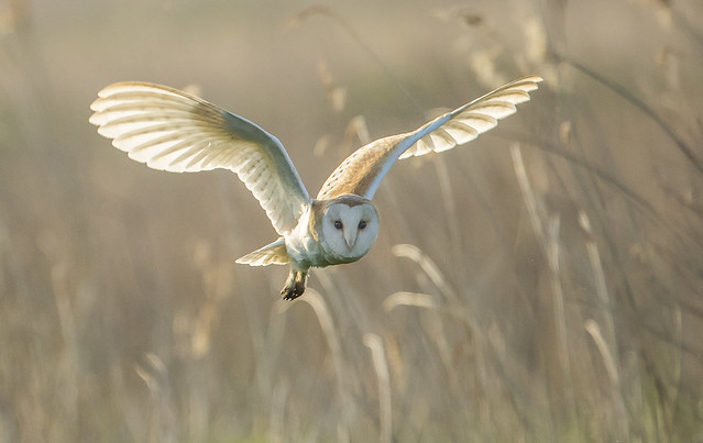 Barn Owl - Out of the mist