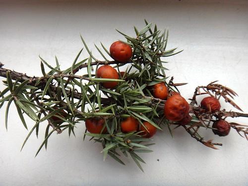 Семена хвойных из Крыма