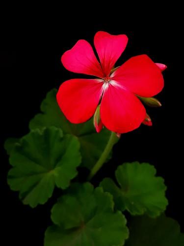 Gerânio, Geranium
